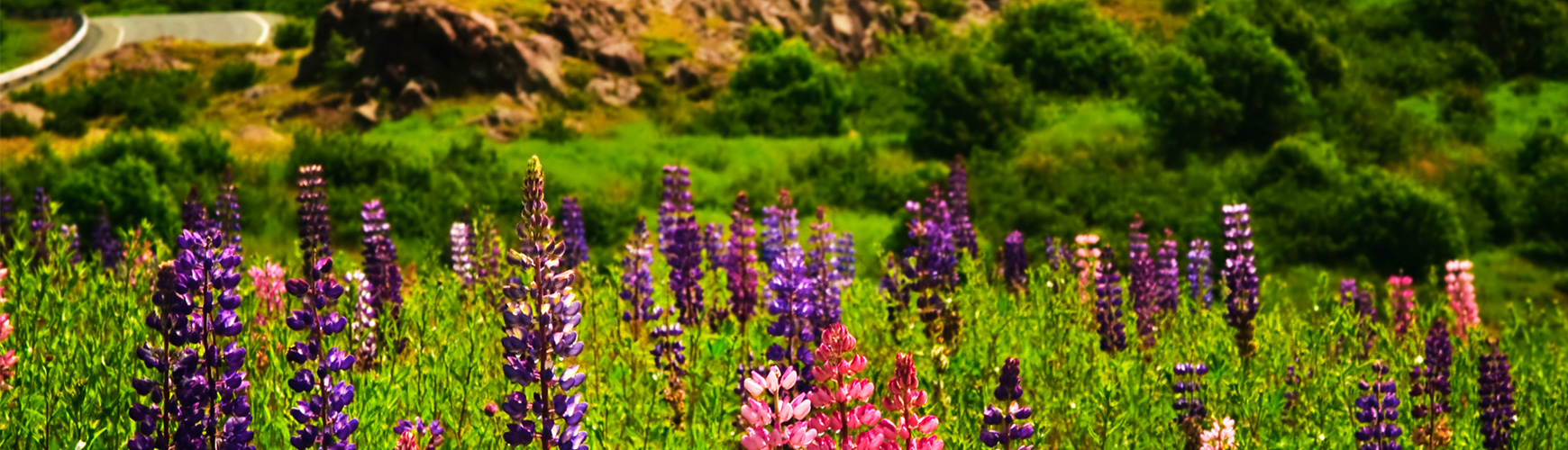 Lupin Garden at Signal Hill